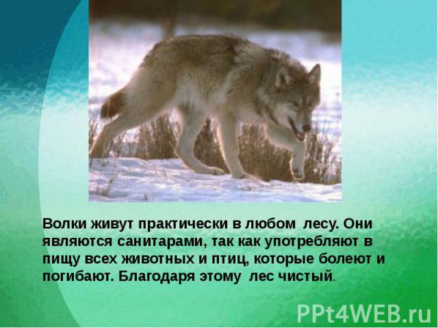 Волки живут практически в любом лесу. Они являются санитарами, так как употребляют в пищу всех животных и птиц, которые болеют и погибают. Благодаря этому лес чистый.