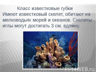 Класс известковые губки Имеют известковый скелет, обитают на мелководьях морей и