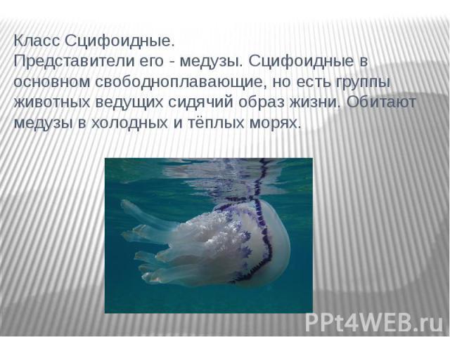 Класс Сцифоидные. Представители его - медузы. Сцифоидные в основном свободноплавающие, но есть группы животных ведущих сидячий образ жизни. Обитают медузы в холодных и тёплых морях.