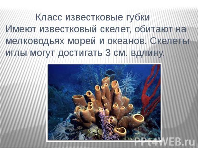 Класс известковые губки Имеют известковый скелет, обитают на мелководьях морей и океанов. Скелеты иглы могут достигать 3 см. вдлину.