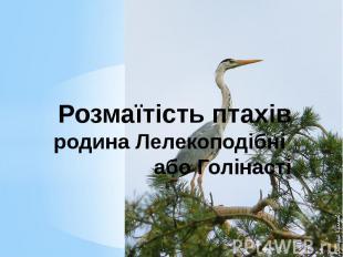 Розмаїтість птахів родина Лелекоподібні або Голінасті