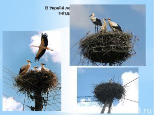 В Україні лелеки найчастіше гніздяться на стовпах електропередач