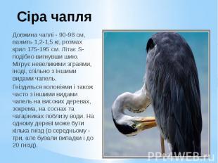 Сіра чапля Довжина чаплі - 90-98 см, важить 1,2-1,5 кг, розмах крил 175-195 см.