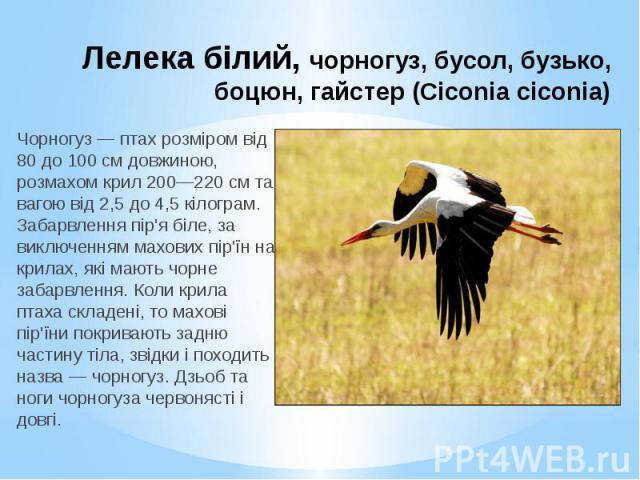 Лелека білий, чорногуз, бусол, бузько, боцюн, гайстер (Ciconia ciconia) Чорногуз — птах розміром від 80 до 100 см довжиною, розмахом крил 200—220 см та вагою від 2,5 до 4,5 кілограм. Забарвлення пір'я біле, за виключенням махових пір'їн на крилах, я…