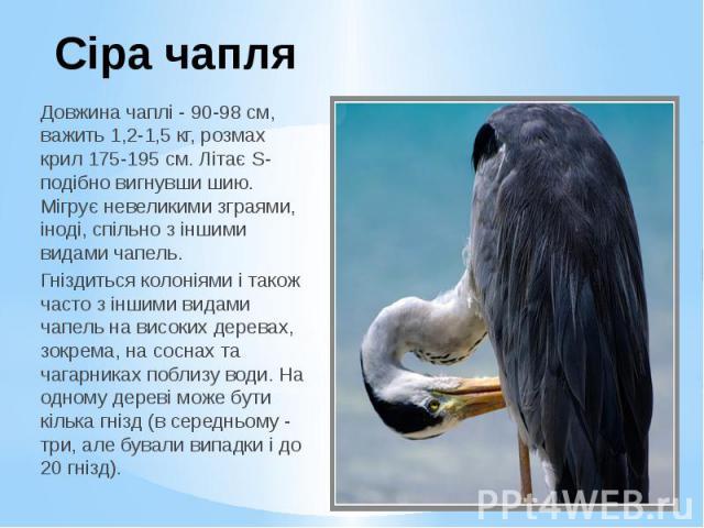 Сіра чапля Довжина чаплі - 90-98 см, важить 1,2-1,5 кг, розмах крил 175-195 см. Літає S-подібно вигнувши шию. Мігрує невеликими зграями, іноді, спільно з іншими видами чапель. Гніздиться колоніями і також часто з іншими видами чапель на високих дере…