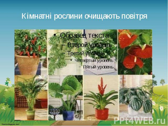 Кімнатні рослини очищають повітря