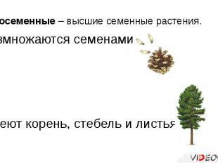 Голосеменные – высшие семенные растения. Размножаются семенами. Имеют корень, ст