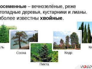 Голосеменные – вечнозелёные, реже листопадные деревья, кустарники и лианы.