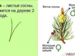 Хвоя – листья сосны. Держится на дереве 2 – 3 года.