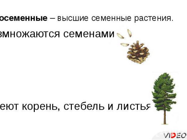 Голосеменные – высшие семенные растения. Размножаются семенами. Имеют корень, стебель и листья.