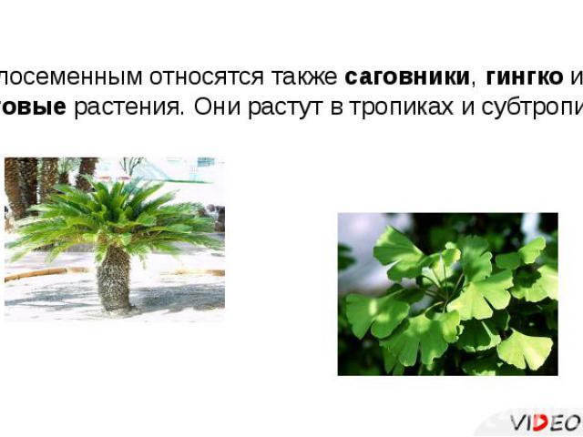 К голосеменным относятся также саговники, гингко и гнетовые растения. Они растут в тропиках и субтропиках.