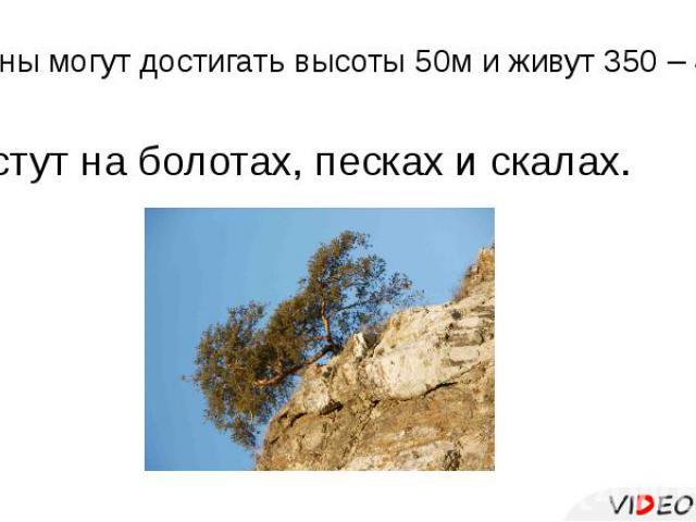 Сосны могут достигать высоты 50м и живут 350 – 400 лет. Растут на болотах, песках и скалах.