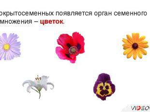 У покрытосеменных появляется орган семенного размножения – цветок.