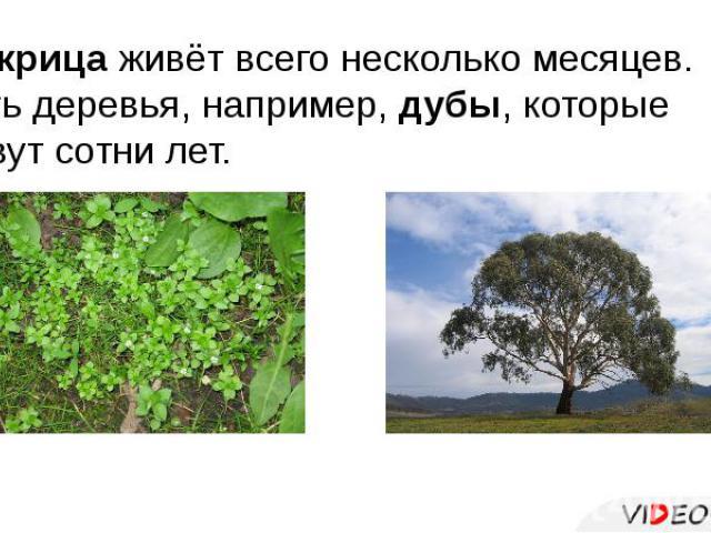Мокрица живёт всего несколько месяцев. Есть деревья, например, дубы, которые живут сотни лет.