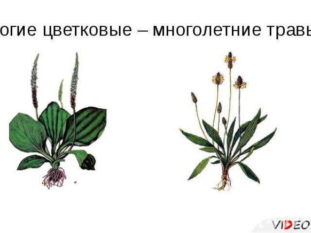 Многие цветковые – многолетние травы.