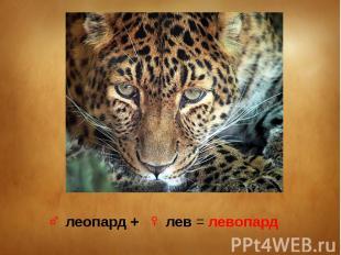 ♂ леопард + ♀ лев = левопард