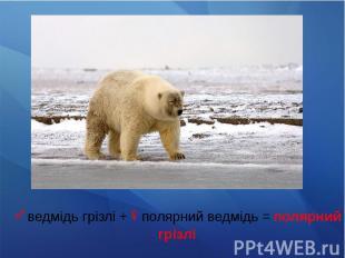 ♂ведмідь грізлі +♀полярний ведмідь = полярний грізлі