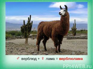 ♂ верблюд + ♀ лама = верблюлама