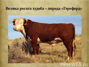 Велика рогата худоба – порода «Герефорд»
