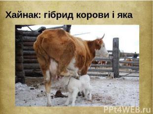 Хайнак: гібрид корови і яка