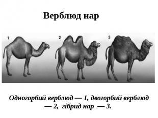 Верблюд нар