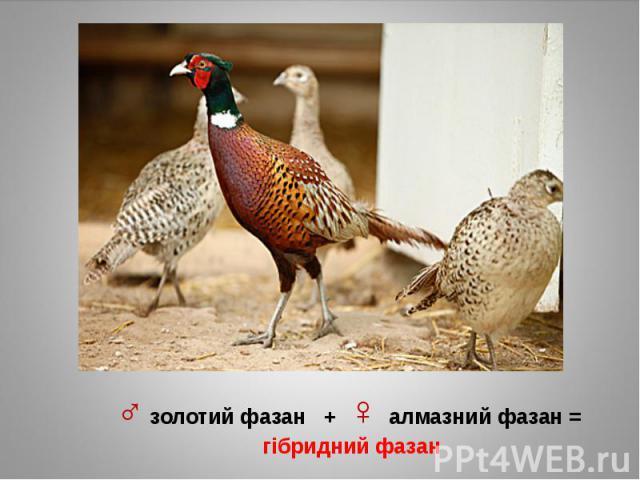 ♂ золотий фазан + ♀ алмазний фазан = гібридний фазан