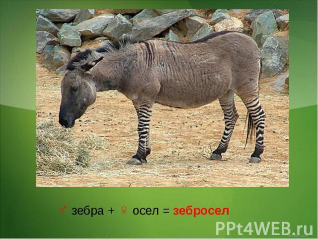 ♂ зебра + ♀ осел = зебросел