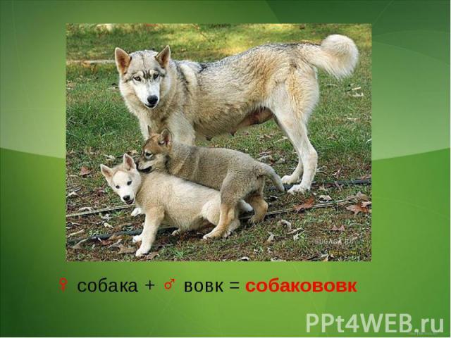♀ собака + ♂ вовк = собакововк