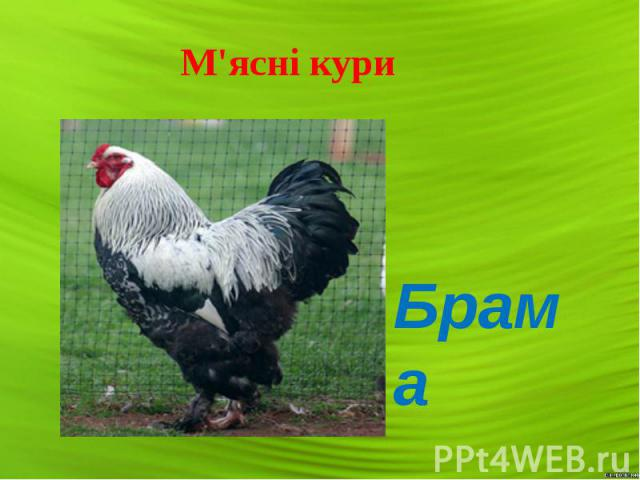 М'ясні кури