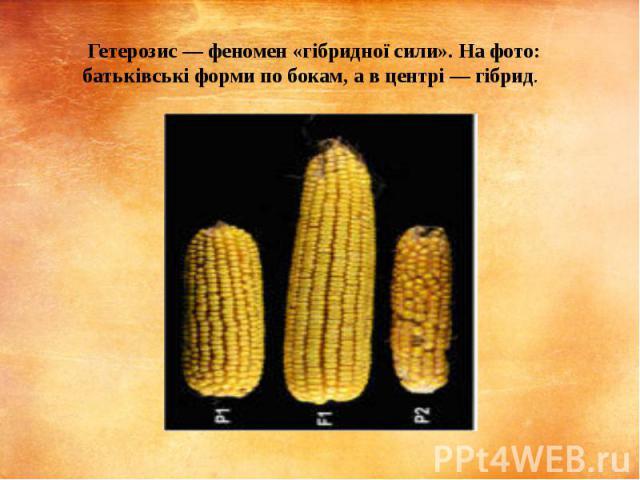 Гетерозис — феномен «гібридної сили». На фото: батьківські форми по бокам, а в центрі — гібрид.