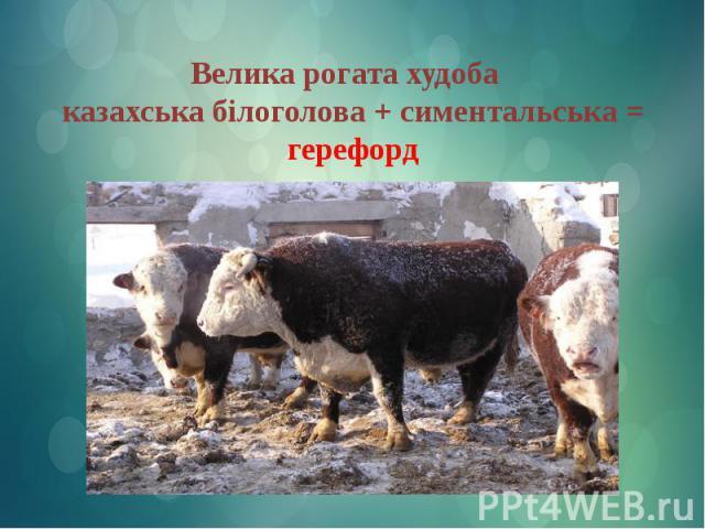Велика рогата худоба казахська білоголова + симентальська = герефорд