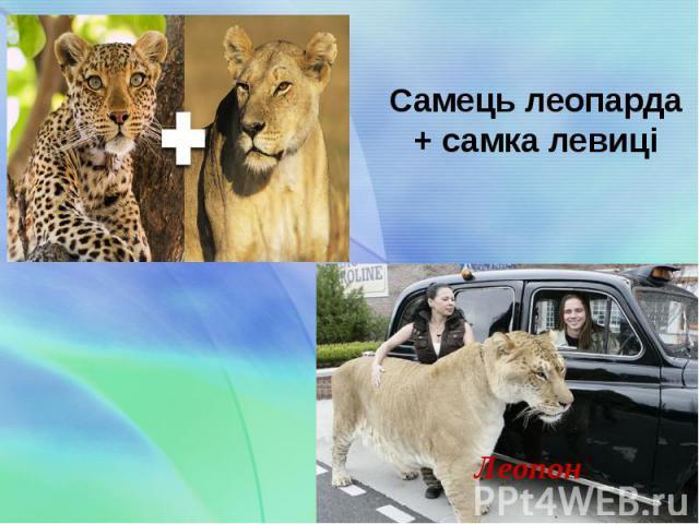 Самець леопарда + самка левиці