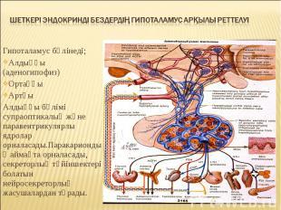 Гипоталамус бөлінеді; Гипоталамус бөлінеді; Алдыңғы (аденогипофиз) Ортаңғы Артқы