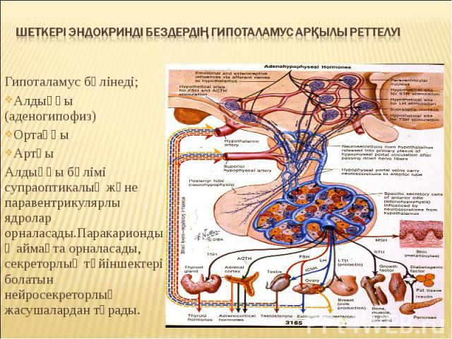Гипоталамус бөлінеді; Гипоталамус бөлінеді; Алдыңғы (аденогипофиз) Ортаңғы Артқы Алдыңғы бөлімі супраоптикалық және паравентрикулярлы ядролар орналасады.Паракариондық аймақта орналасады, секреторлық түйіншектері болатын нейросекреторлық жасушалардан…