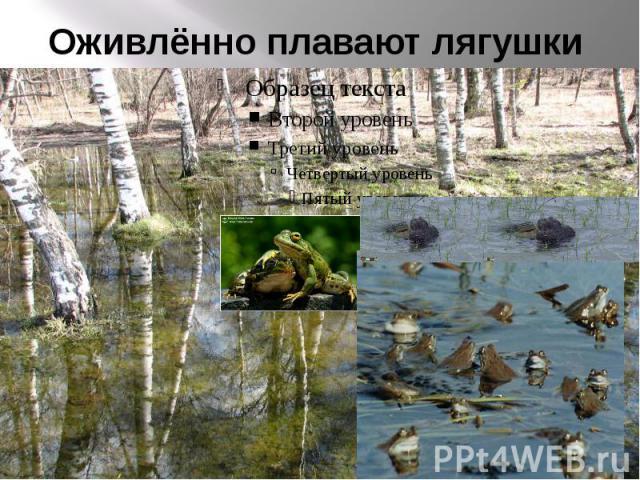 Оживлённо плавают лягушки
