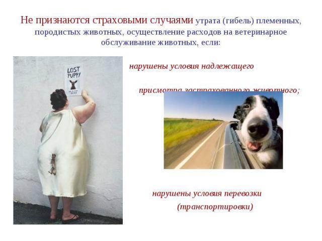 Не признаются страховыми случаями утрата (гибель) племенных, породистых животных, осуществление расходов на ветеринарное обслуживание животных, если: нарушены условия надлежащего присмотра застрахованного животного; нарушены условия перевозки (транс…