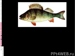 Назовите вид, семейство Каковы недостатки этой рыбы в рыбных хозяйствах? Каковы