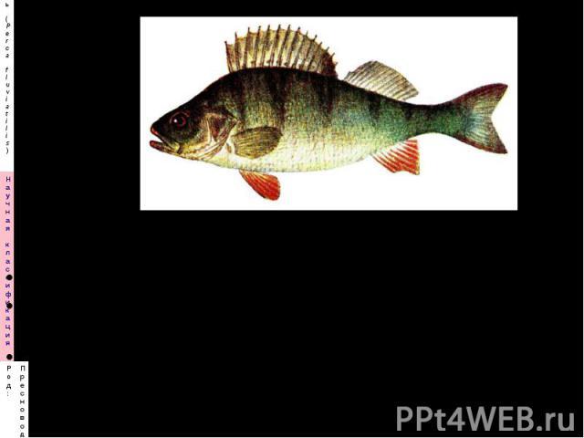 Назовите вид, семейство Каковы недостатки этой рыбы в рыбных хозяйствах? Каковы требования к условиям содержания?