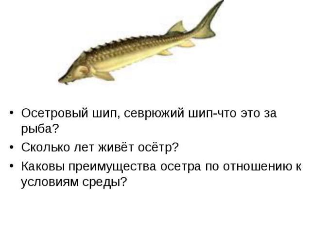 Осетровый шип, севрюжий шип-что это за рыба? Сколько лет живёт осётр? Каковы преимущества осетра по отношению к условиям среды?