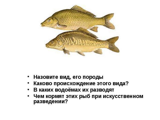 Назовите вид, его породы Назовите вид, его породы Каково происхождение этого вида? В каких водоёмах их разводят Чем кормят этих рыб при искусственном разведении?