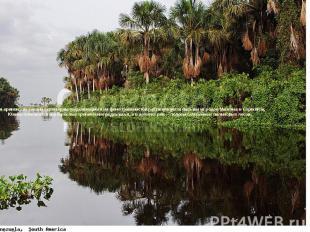 Для оринокских саванн характерны выделяющиеся на фоне травянистой растительности