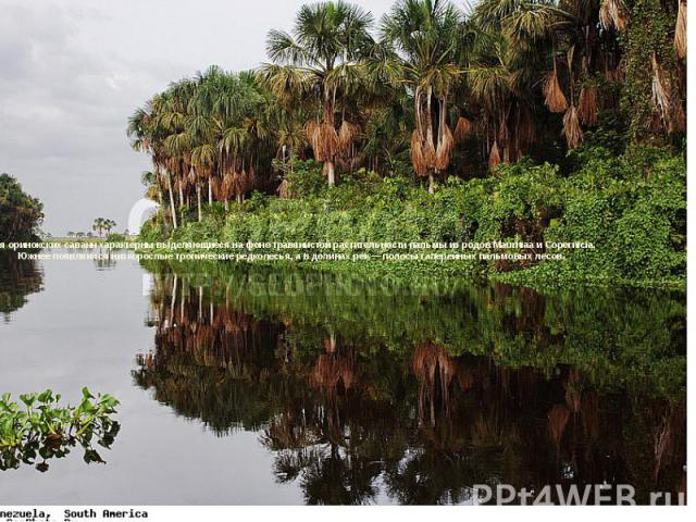 Для оринокских саванн характерны выделяющиеся на фоне травянистой растительности пальмы из родов Маuritiaа и Copernicia. Южнее появляются низкорослые тропические редколесья, а в долинах рек — полосы галерейных пальмовых лесов.