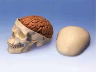 Сверху мозг покрыт корою,