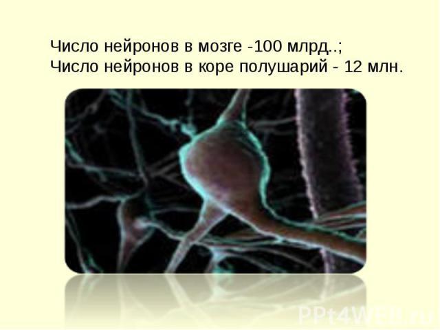 Помню, есть в мозгу нейроны, есть они, и все дела!