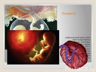 Плацента эмбриональный орган у всех самок плацентарных млекопитающих, некоторых