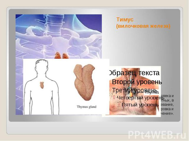 Тимус (вилочковая железа) орган лимфопоэза человека и многих видов животных, в котором происходит созревание, дифференцировка и иммунологическое «обучение».