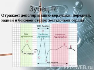 Зубец R Отражает деполяризацию верхушки, передней, задней и боковой стенок желуд