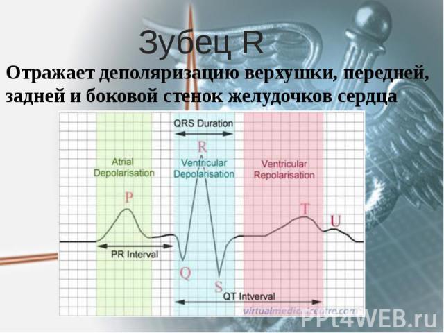 Зубец R Отражает деполяризацию верхушки, передней, задней и боковой стенок желудочков сердца