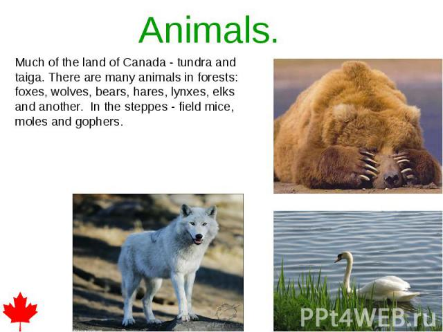 Animals. Much of the land of Canada - tundra and taiga. There are many animals in forests: foxes, wolves, bears, hares, lynxes, elks and another. In the steppes - field mice, moles and gophers.