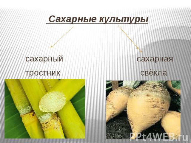 Сахарные культуры сахарный сахарная тростник свёкла